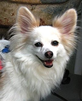 Papillon Dog for adoption in Marietta, Georgia - Beau  9 yrs (In GA)