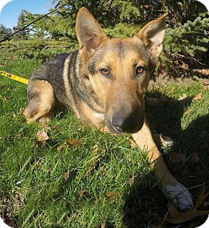 Shepherd (Unknown Type) Mix Dog for adoption in Detroit, Michigan - Rex-Adopted!