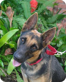 German Shepherd Dog Dog for adoption in Riverview, Florida - Lucy