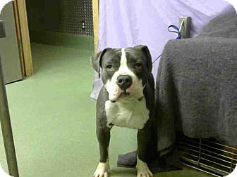 American Bulldog Mix Dog for adoption in Beverly Hills, California - MAJOR - ID #A662383