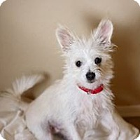 Adopt A Pet :: Tot - Phoenix, AZ