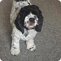 Adopt A Pet :: Beckett - Doylestown, PA