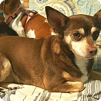 Adopt A Pet :: Holly - Andalusia, PA