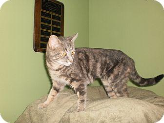 Domestic Shorthair Cat for adoption in Saint Albans, Vermont - Sugar