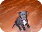 Labrador Retriever Mix Puppy for adoption in Manchester, Connecticut - Annie in Ct