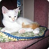 Adopt A Pet :: Harve - Arlington, VA