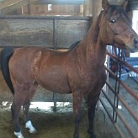 Adopt A Pet :: Prince (Arab Gelding) - Boone, CO