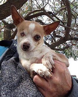Chihuahua Dog for adoption in Temecula, California - Ronnie