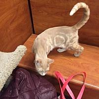 Adopt A Pet :: Pecan - Cranford/Rartian, NJ