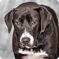 Adopt A Pet :: Paisley - Cashiers, NC