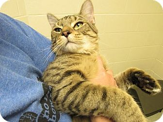 Domestic Shorthair Cat for adoption in Windsor, Virginia - Comet