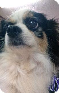 Chihuahua/Pomeranian Mix Dog for adoption in Savannah, Georgia - Maverick