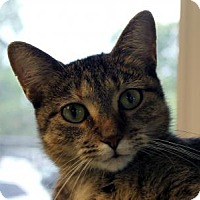 Domestic Shorthair Cat for adoption in Indianapolis, Indiana - Luvvy