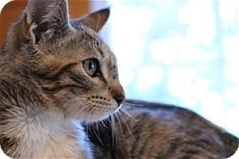 Domestic Shorthair Kitten for adoption in Lincoln, California - Sabrina