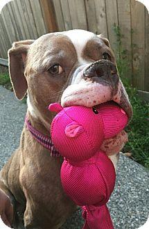 American Bulldog Dog for adoption in Seattle, Washington - Faith