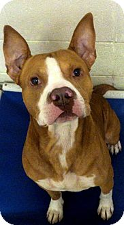 American Pit Bull Terrier Mix Dog for adoption in Crown Point, Indiana - Yoda