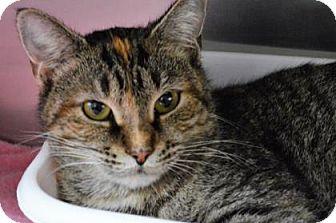 Domestic Shorthair Cat for adoption in Monroe, Michigan - Lula
