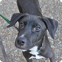 Adopt A Pet :: Mitchell - Atlanta, GA
