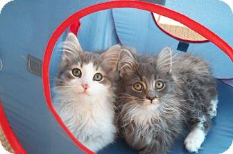 Domestic Shorthair Kitten for adoption in Acme, Pennsylvania - Bert & Ernie
