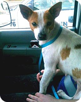 Jack Russell Terrier/Basenji Mix Dog for adoption in Houston, Texas - Pippa