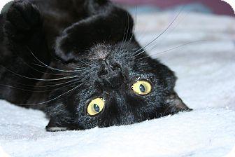 Domestic Shorthair Cat for adoption in Santa Rosa, California - Zephyr
