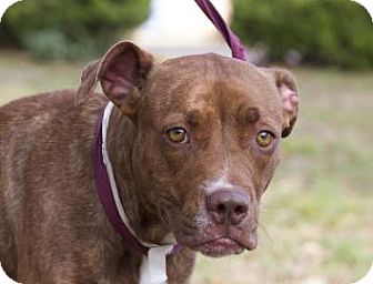 American Pit Bull Terrier Mix Dog for adoption in Gainesville, Florida - Zora