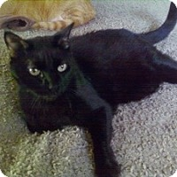 Domestic Shorthair Cat for adoption in Fort Lauderdale, Florida - Zuma
