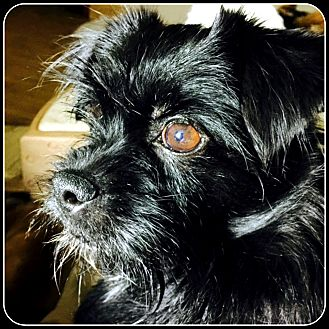 Affenpinscher Mix Dog for adoption in Seymour, Missouri - NELLY in Rogers, AR.