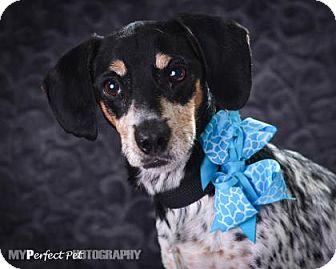 Dachshund Mix Dog for adoption in Miami, Florida - Roket