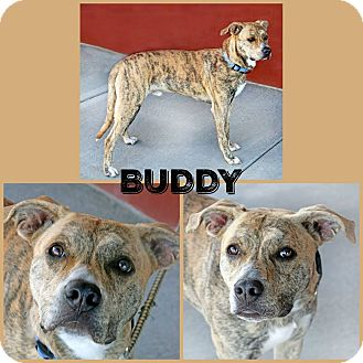 Pit Bull Terrier Mix Dog for adoption in Idaho Falls, Idaho - Buddy