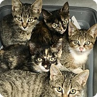 Domestic Shorthair Cat for adoption in Manteo, North Carolina - Netty