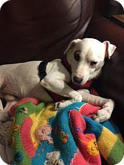 Jack Russell Terrier Dog for adoption in Columbia, Tennessee - Cody/CP