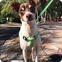 Adopt A Pet :: Total Lover Boy!!! - Ft Myers Beach, FL