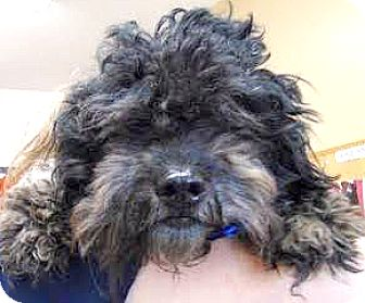 Poodle (Miniature)/Lhasa Apso Mix Dog for adoption in Boulder, Colorado - Quinn-ADOPTION PENDING
