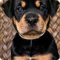 Adopt A Pet :: Puppy Joy - Miami, FL