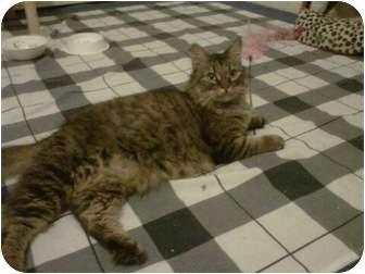 Maine Coon Cat for adoption in Los Angeles, California - Tomasina
