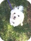 Maltese Mix Dog for adoption in Pineville, North Carolina - Petey