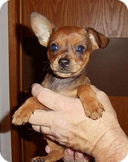 Chihuahua/Terrier (Unknown Type, Small) Mix Puppy for adoption in Grass Valley, California - Buck