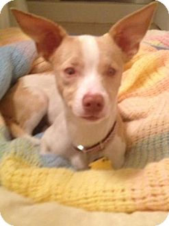 Chihuahua/Terrier (Unknown Type, Small) Mix Dog for adoption in Las Vegas, Nevada - Keller