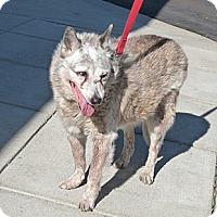 Adopt A Pet :: Possum - Denver, CO