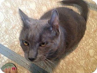 Domestic Shorthair Cat for adoption in Binghamton, New York - Brady