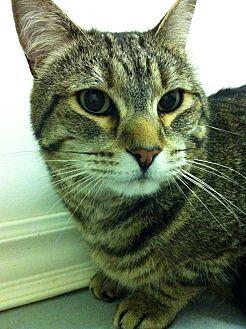 Domestic Shorthair Cat for adoption in Port Hope, Ontario - Loki