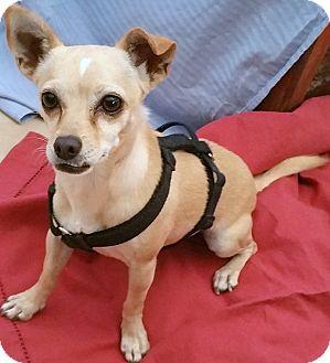 Toy Fox Terrier/Chihuahua Mix Dog for adoption in Phoenix, Arizona - Harley Davidson
