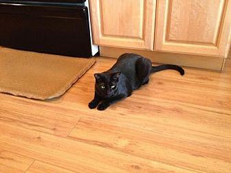Domestic Shorthair Cat for adoption in Phoenix, Arizona - Sabrina