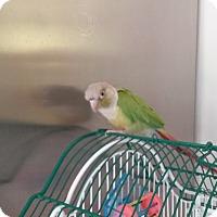Adopt A Pet :: Nibbles - Independence, KY