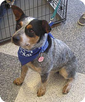 Australian Cattle Dog/Blue Heeler Mix Dog for adoption in Cross Roads, Texas - Tex