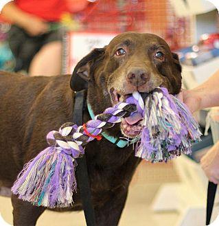 Labrador Retriever Dog for adoption in Phoenix, Arizona - Hershey
