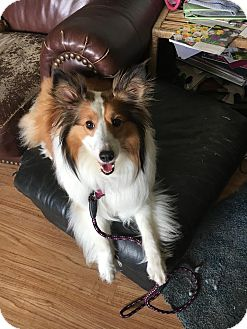 Sheltie, Shetland Sheepdog Dog for adoption in New Castle, Pennsylvania - Sadie  (ADOPTED)