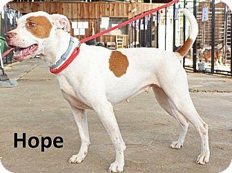 Pit Bull Terrier Dog for adoption in Leslie, Arkansas - Hope