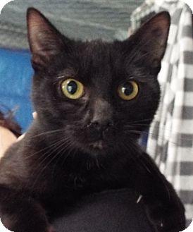 Domestic Shorthair Kitten for adoption in Grants Pass, Oregon - Kirk